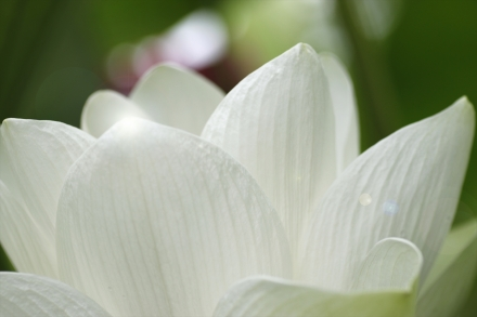 白い蓮素敵でしょ