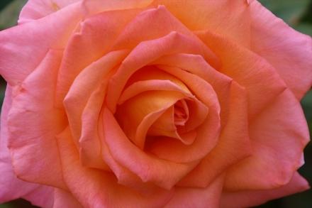変わった色のバラが増えましたね