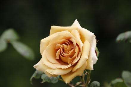 高貴なバラ