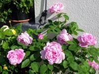 gardenroses0616