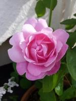 gardenroses06163