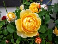 gardenroses06164