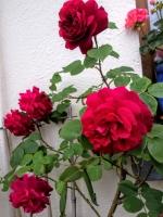 gardenroses06165