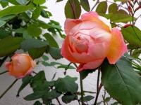gardenroses061611