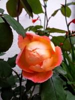gardenroses06169