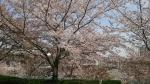 阪神競馬桜
