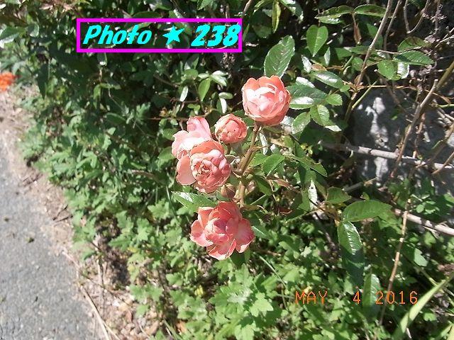 薔薇が咲いている