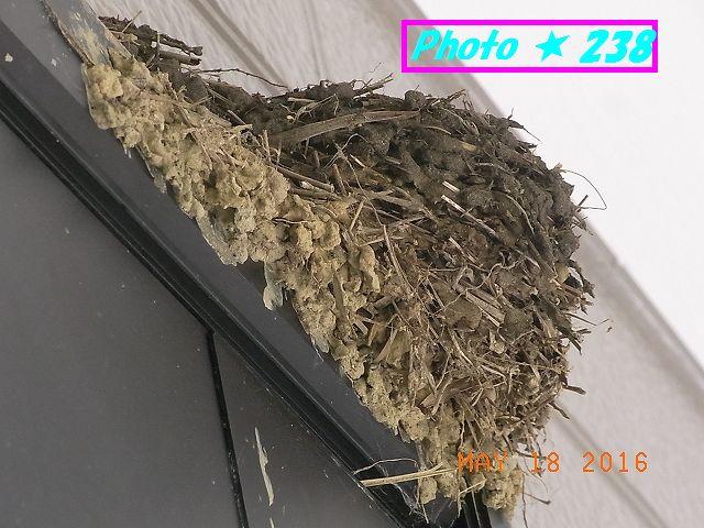 ツバメの巣①