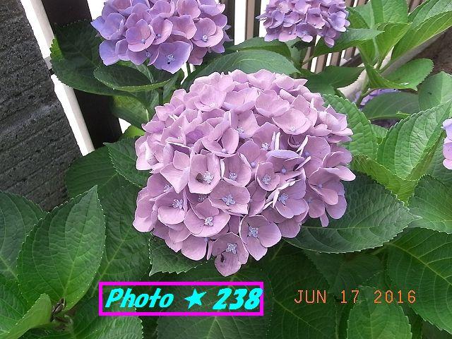 母の日の紫陽花①