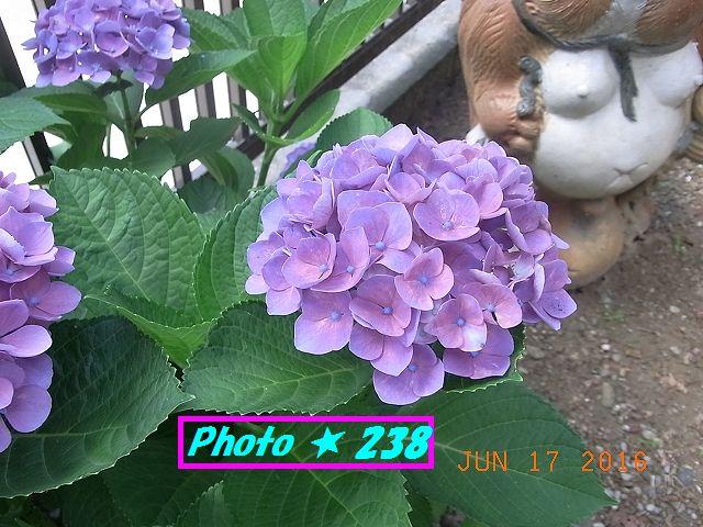 母の日の紫陽花②