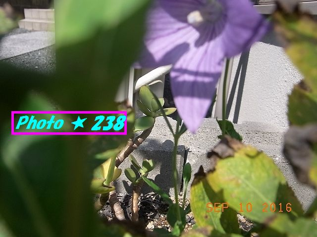 芙蓉の花①