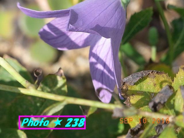 芙蓉の花②