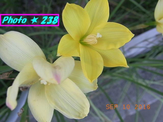 黄色い花。