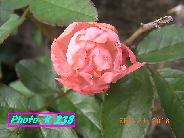 ピンクの薔薇①