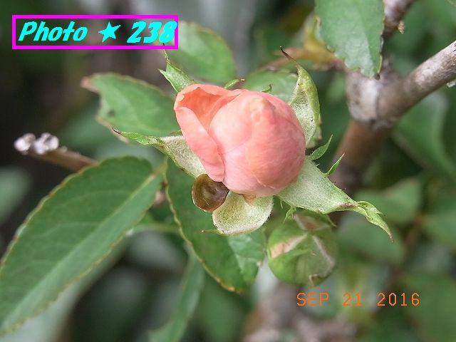 ピンクの薔薇②