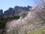 桜と妙義山
