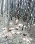 竹林(2)