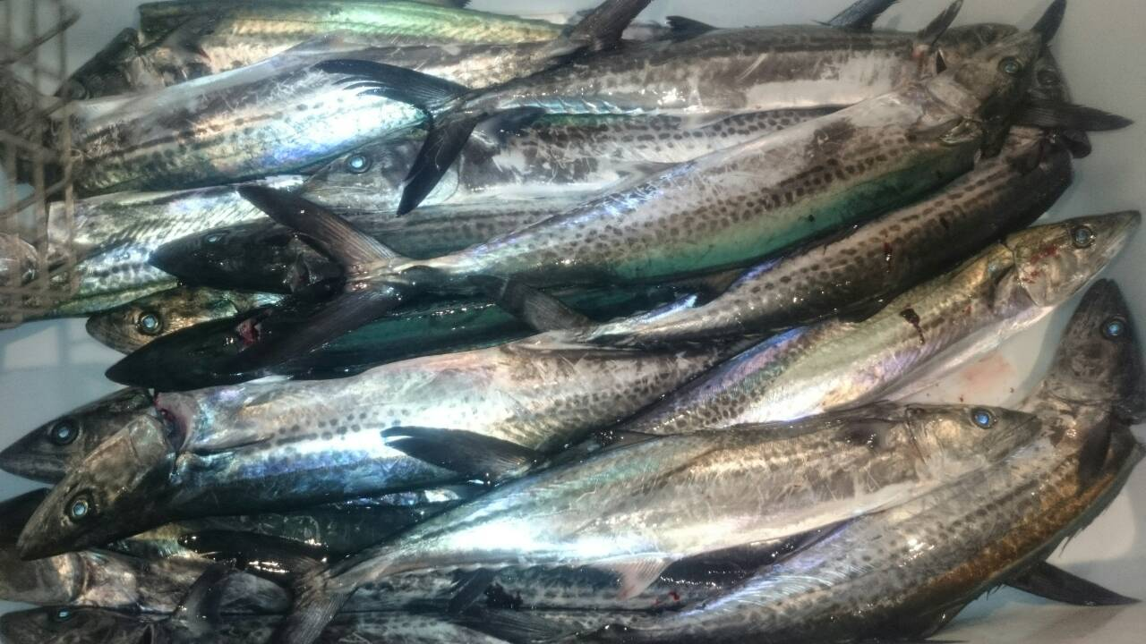 20160424 サワラ 大漁