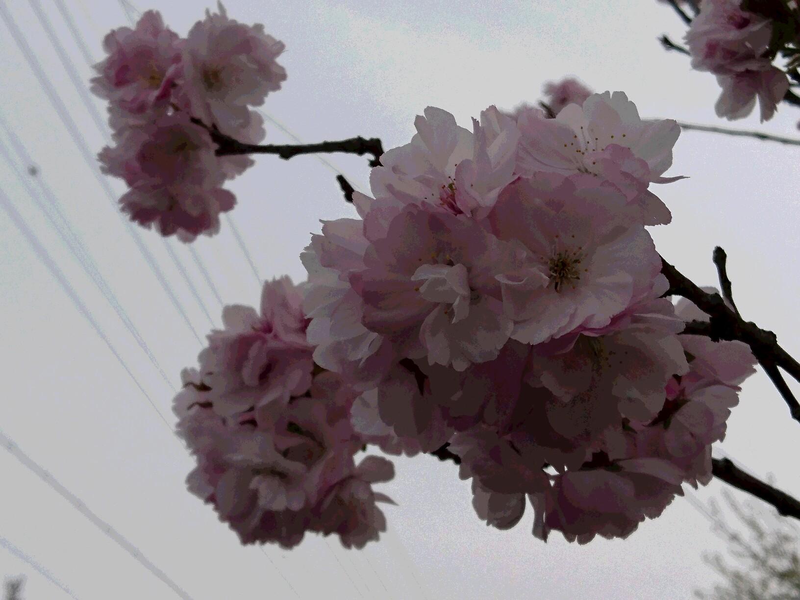 20160425 野尻湖、桜咲きました