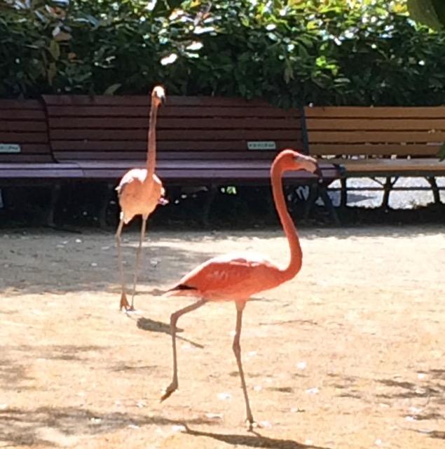 逃げ出したフラミンゴ2羽