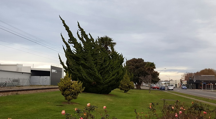 20160611_ニュージーランドFeildingで発見した木