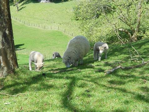 ニュージーランドの羊-2