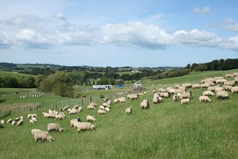 ニュージーランドの羊-3