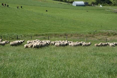 ニュージーランドの羊-4