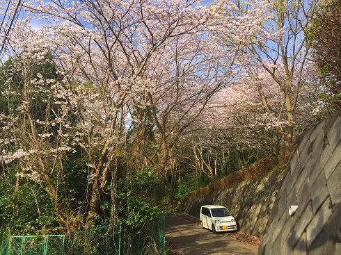 お散歩の桜のトンネル