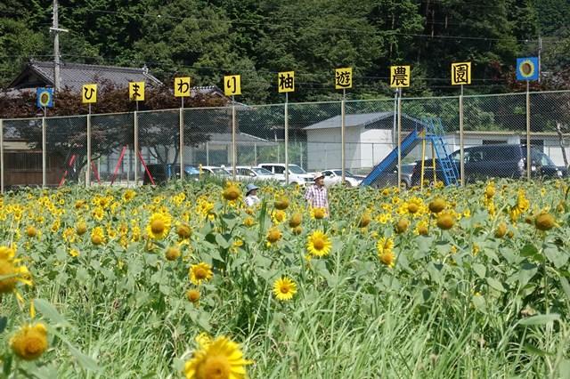ひまわり遊柚農園(丹波市) (13)