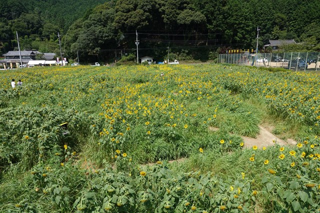 ひまわり遊柚農園(丹波市) (15)