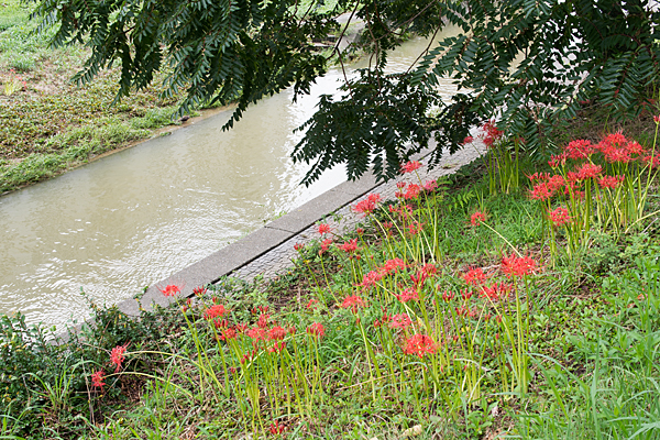 香流川の彼岸花