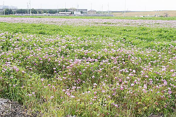 志段味のレンゲ畑