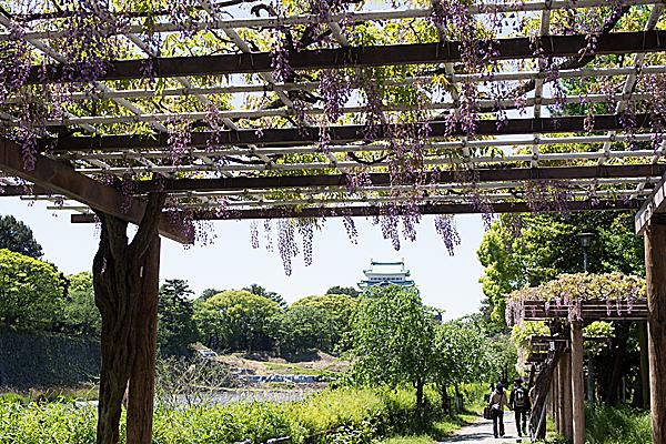 名古屋城と藤棚