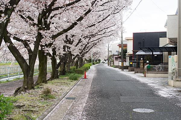 香流川遊歩道と桜並木