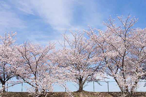 平池土手の桜