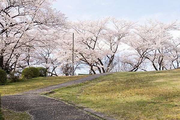 芝生広場と桜