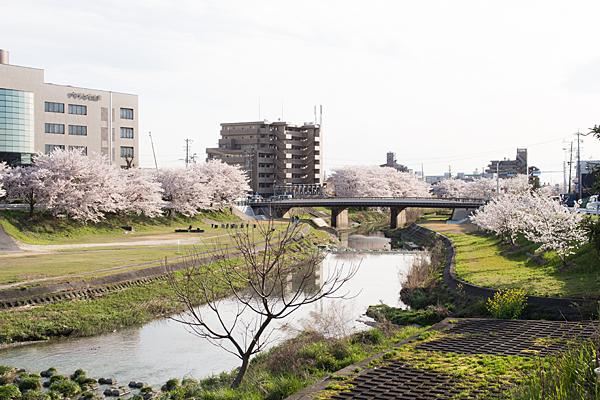 瀬戸川と桜