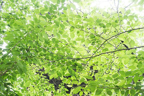 桜の木の青葉
