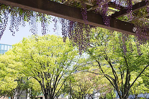 藤棚と新緑の街路樹
