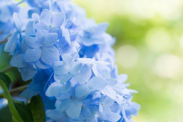 青のアジサイ