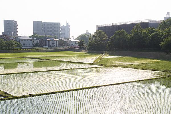 街中の田んぼ風景