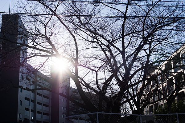 住宅前のソメイヨシノの木