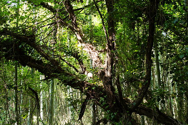 朽ち木と新緑