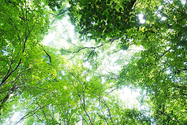 見上げる緑の葉