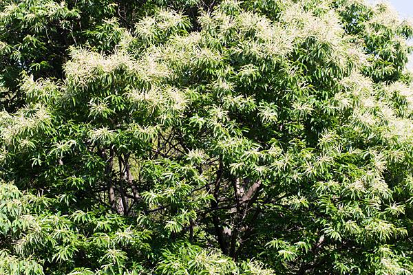 栗の木の花