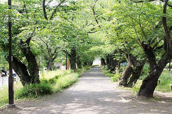 雨池桜並木初夏