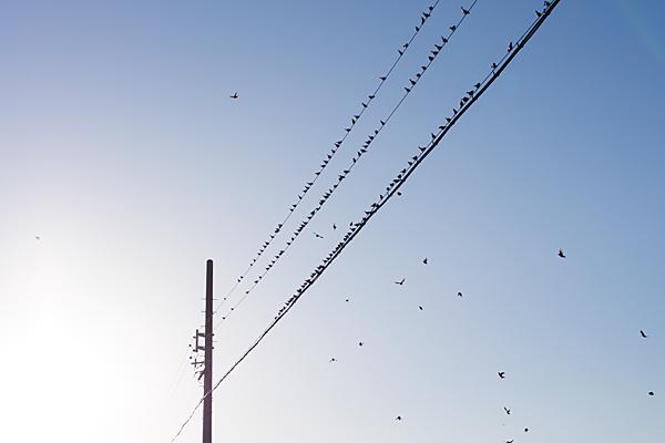 電線にとまる鳥たち