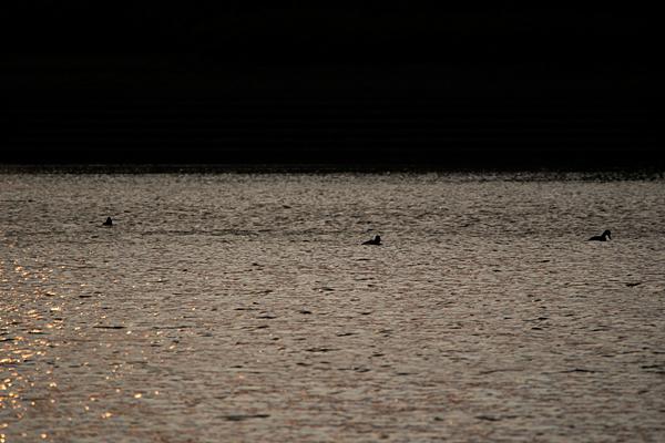 池のカモたち