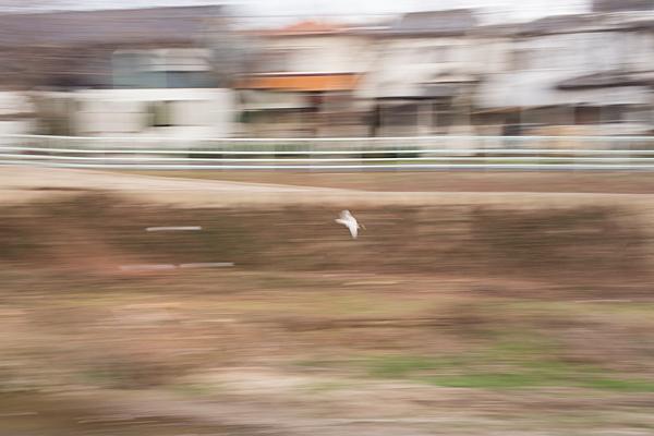 飛ぶコサギ